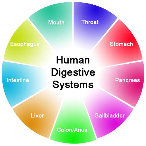 digestive system organs | ck-12 foundation, Human Body
