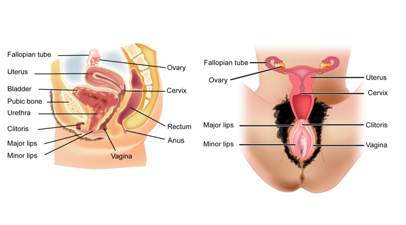 Sex organs ck 12 foundation figure 26 in contrast to the male reproductive system the female reproductive system lies almost entirely inside the abdomen ccuart