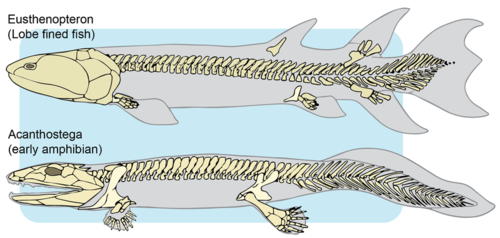 Evolution of lobe-finned fish to early amphibians