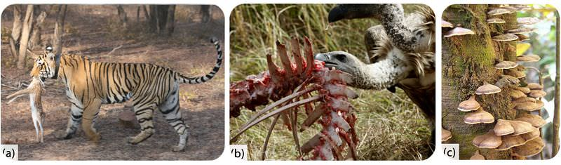 Examples of predator and prey, scavengers, and decomposers