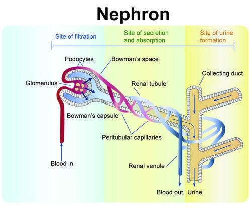 the excretory system | ck-12 foundation, Cephalic Vein