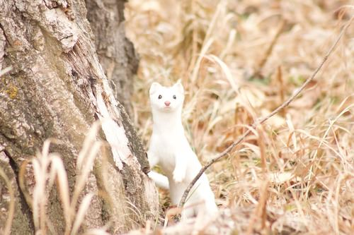 Stoats change color in the winter, from brown to white, so that they can hide in the snow