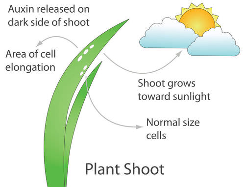 auxin essential plant hormones Plant hormones regulate many aspects of plant growth and development both auxin and cytokinin have been known for a long time to act either synergistically or antagonistically to control several significant developmental processes, such as the formation and maintenance of meristem.