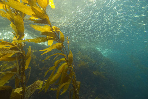 A kelp forest is an example of a marine biome
