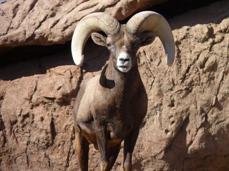 Ovis canadensis nelsoni: Desert Bighorn Sheep | CK-12 Foundation