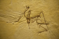 The preserved remains of an Archaeopteryx, a type of dinosaur