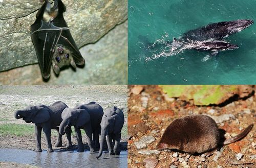 Pictures of mammals: a bat, whale, shrew, and elephant