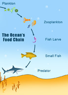 Example of a marine food chain