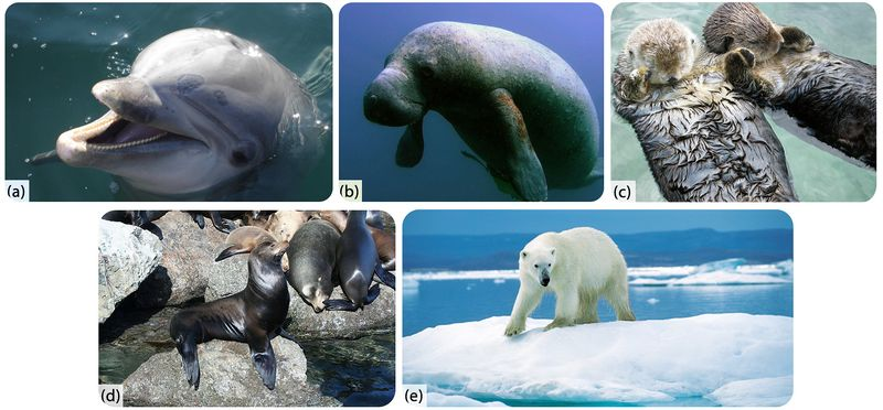 Picture of the five types of marine mammals: cetaceans, sirenians, mustelids, pinnipeds, and polar bears