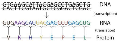 DNA is transcribed to mRNA, which is translated into a protein