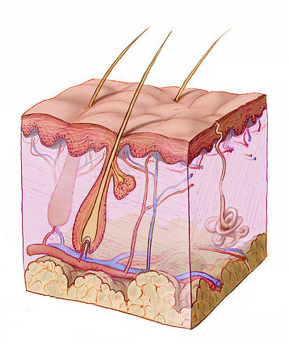 The skin's many layers helps keep most pathogens out