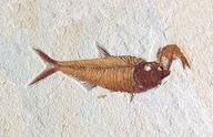 Fossil of a fish found in the Wyoming desert