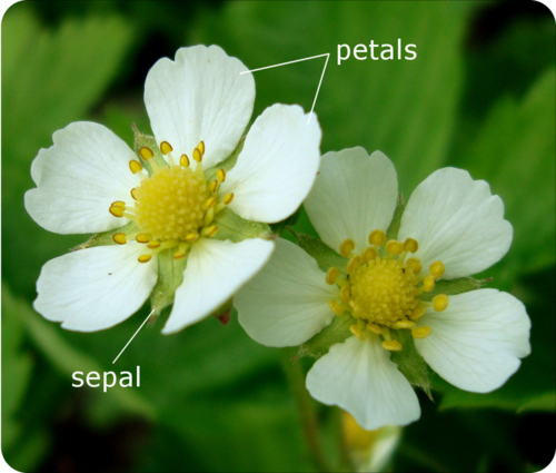 The difference between a petal and a sepal