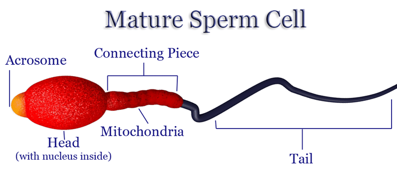 Parts of a mature sperm cell, including the tail, head, mitochondria, acrosome