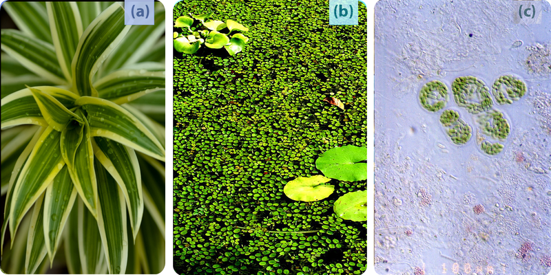 Examples of photosynthetic autotrophs