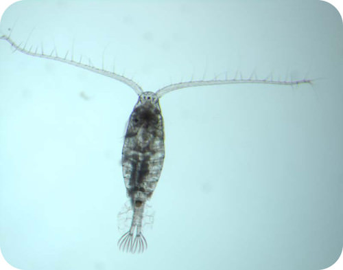 Picture of a copepod, an example food source for larger animals