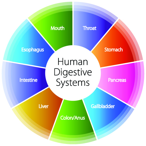 Digestive System Organs | CK-12 Foundation