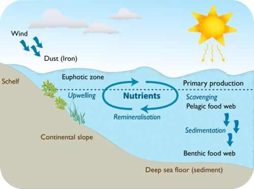 Nutrients cycle through ocean food webs