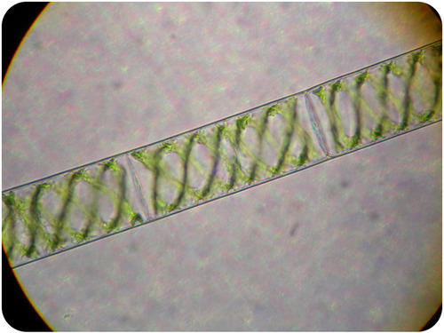 Spirogyra has a complex life style