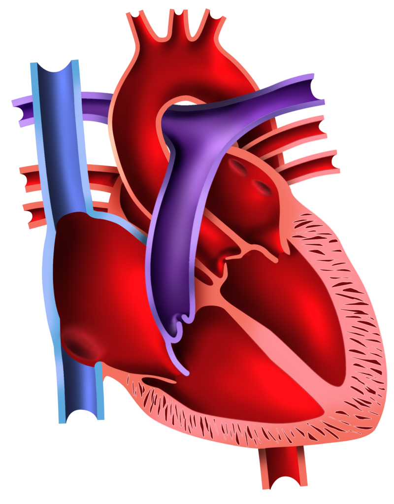 Activities and answer keys ck 12 foundation 6 how does the pulmonary artery differ from all other arteries how does the pulmonary vein differ from all other veins why is this distinction important pooptronica Image collections