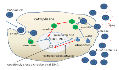 Virus Reproduction