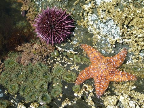 Organisms in a tide pool include a sea star and a sea urchin