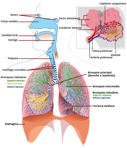 Órganos del Sistema Respiratorio | CK-12 Foundation