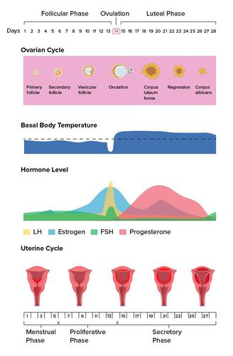 Detailed linear menstrual cycle diagram