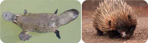 A Echidna and Platypus are both mammals, but lay eggs