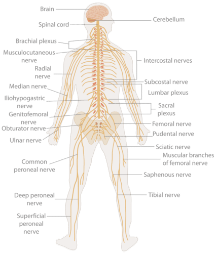 Nervous system in body