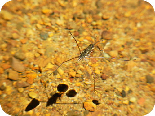This insect is able to stand on water because of surface tension