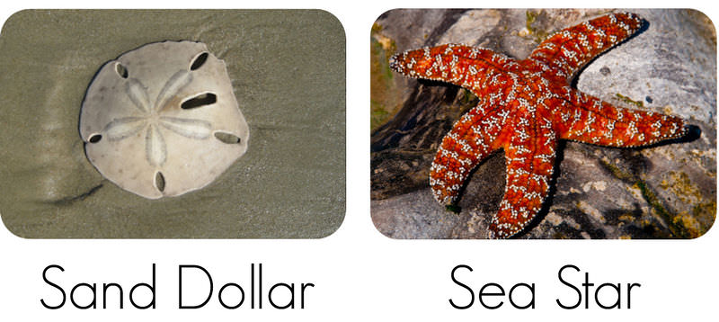 Examples of echinoderms: sand dollar, sea star, feather star