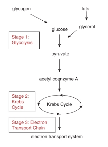 Powering the cell cellular respiration and glycolysis ck 12 the many steps in the process of aerobic cellular respiration can be divided into three stages the first stage glycolysis produces atp without oxygen ccuart Choice Image