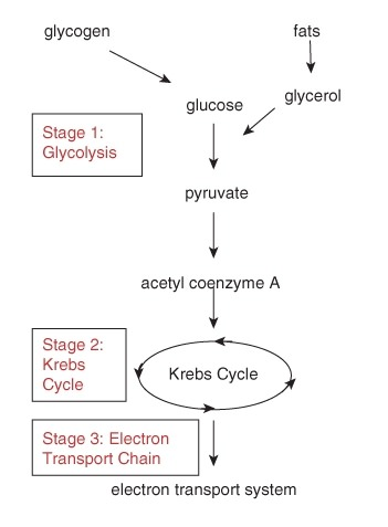 Glycolysis 15019025164 read biology ck 12 foundation the many steps in the process of aerobic cellular respiration can be divided into three stages the first stage glycolysis produces atp without oxygen ccuart Images