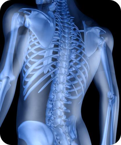 Skeletal System Read Biology Ck 12 Foundation
