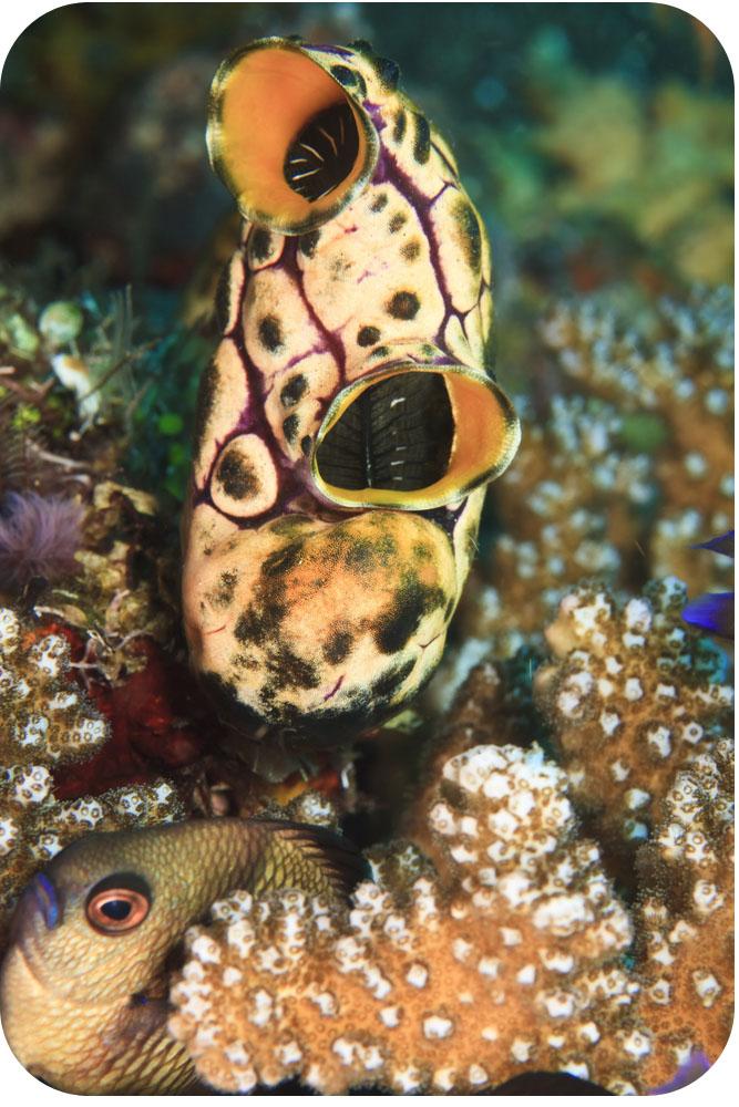 Lancelets And Tunicates