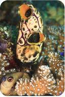 Invertebrate Chordates