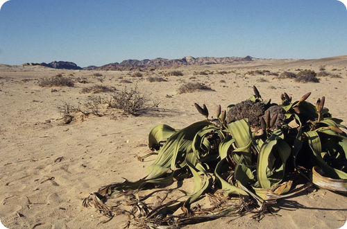 One type of gnetophyte is ''Welwitschia''
