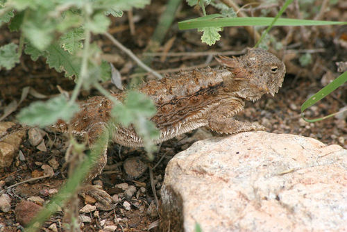 A lizard camouflaged against the background