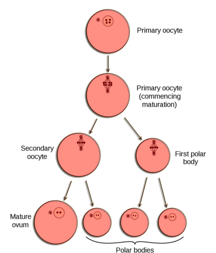 Oogenesis diagram
