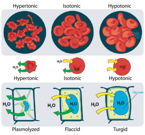 When Red Blood Cells Are Placed In An Hypotonic So Chegg