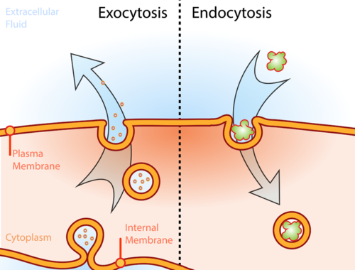 Process of vesicle transport for exocytosis and endocytosis