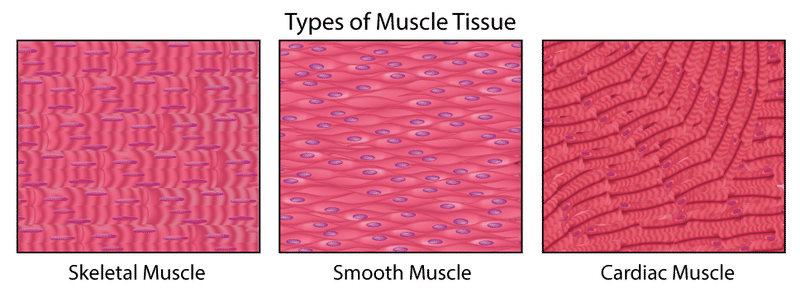 Muscles Read Biology Ck 12 Foundation