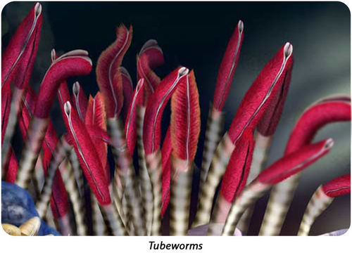 Tube worms, which live at hydrothermal vents