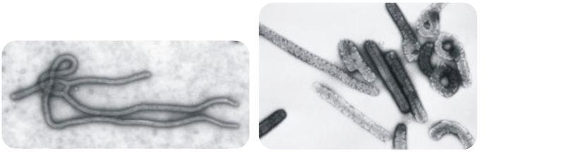 Both the Ebola virus and the Marburg virus can cause dangerous hemorrhagic fevers