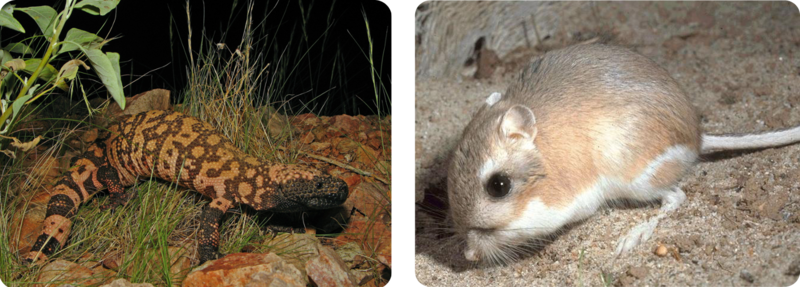 Gila monster and a kangaroo rat have adaptations to survive in the dry climate