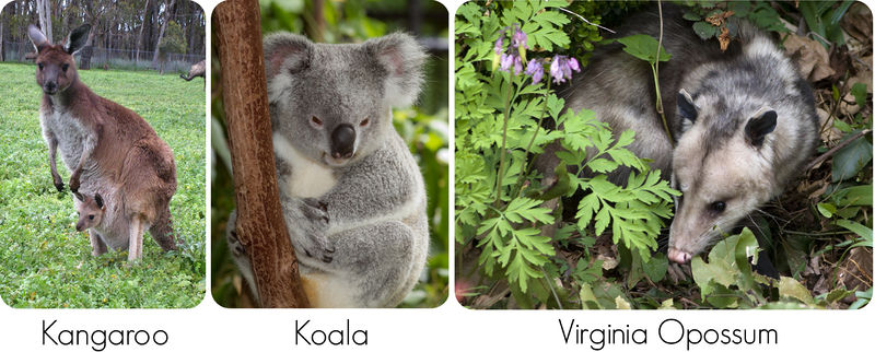 Marsupials include kangaroo, koala, and opossum