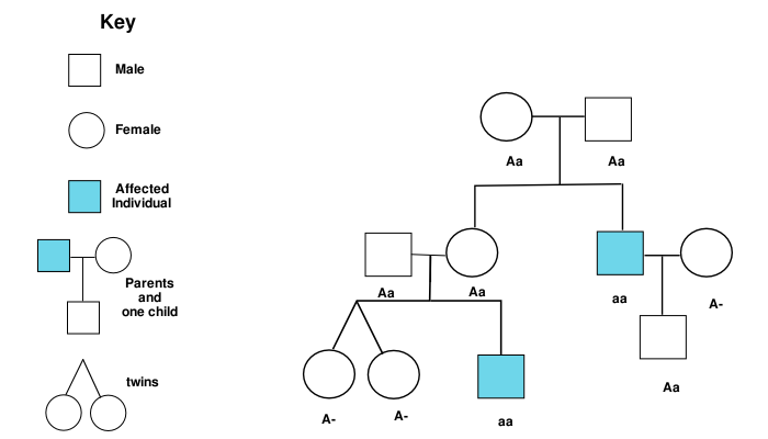 Worksheet 21 genotypes and phenotypes answer key