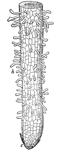 Root Structure - Advanced