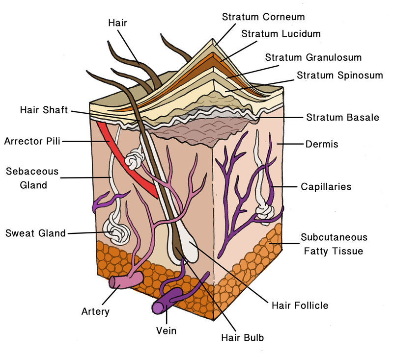 The Integumentary System Ck 12 Foundation